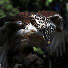 Ferruginous Hawk 2 by Anne Smyth