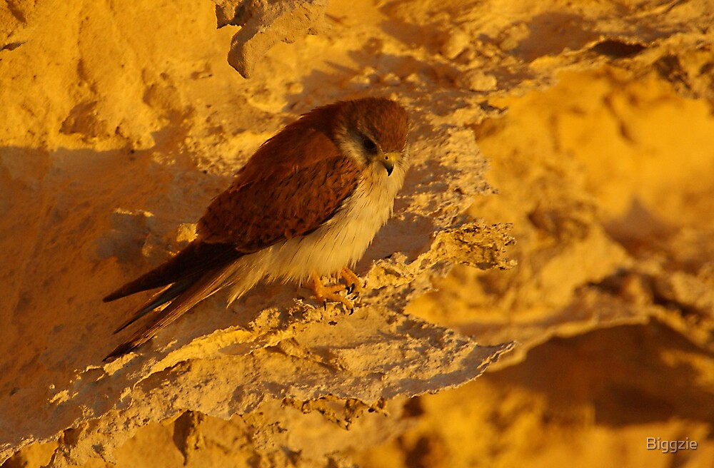 Kestrel on Cliff by Biggzie