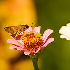 Skipper on zinnia by Zina Stromberg