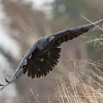 Black Raven by AliusImago