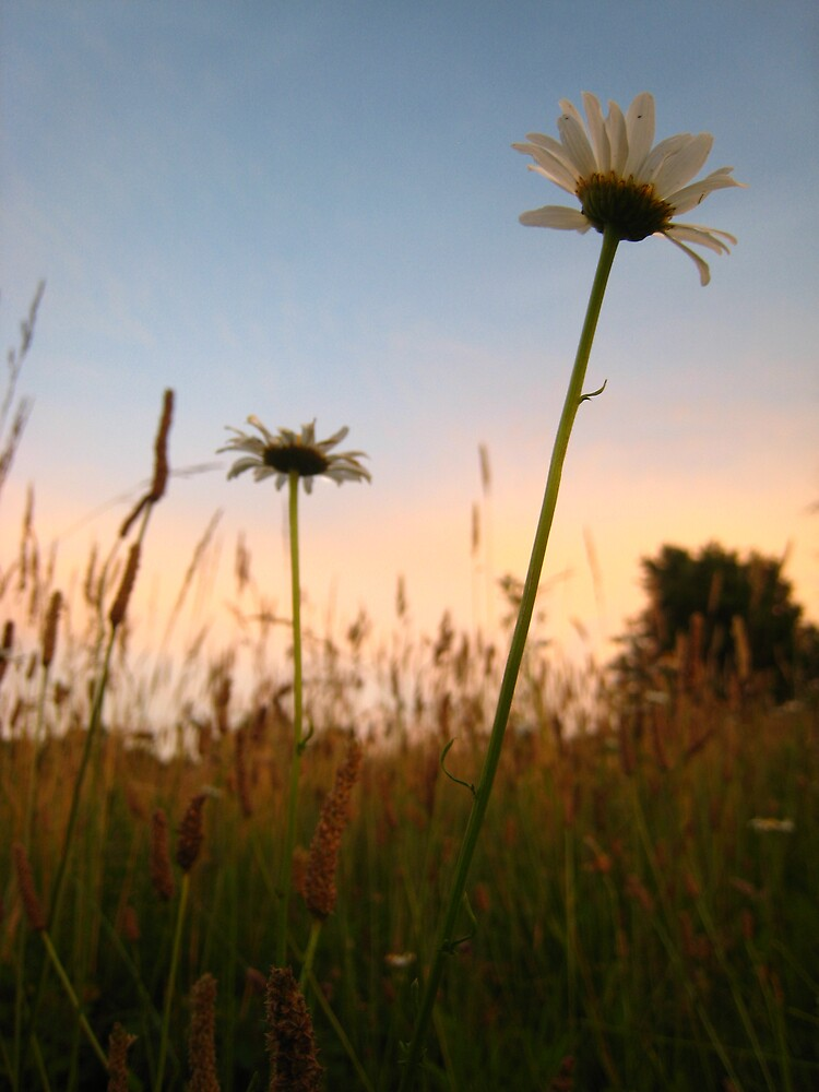 Sunsetting Daisy by Angela Housley