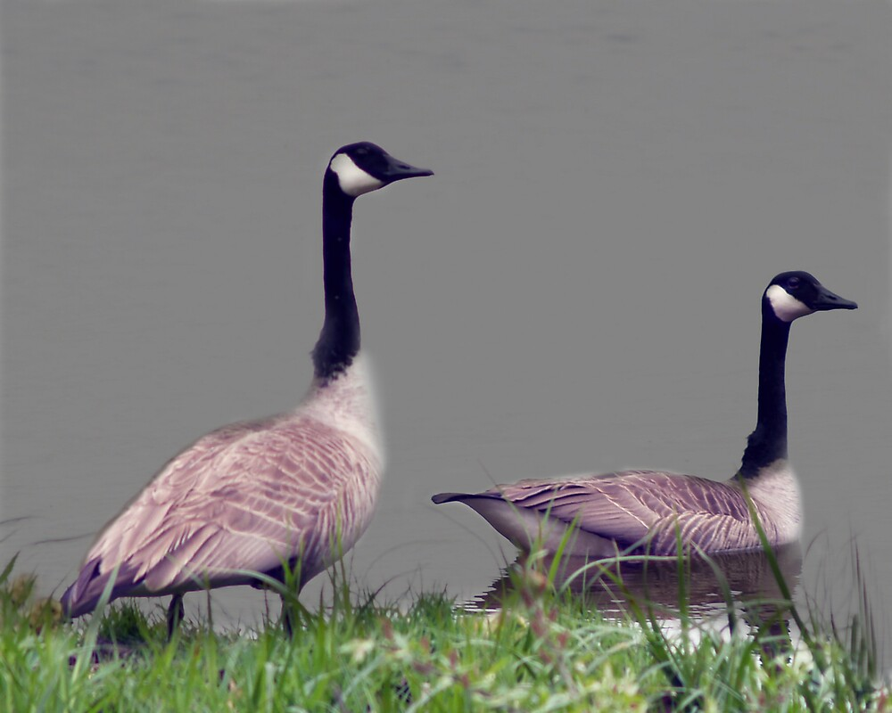 geese at the boat launch by edward gaudette