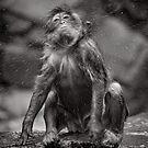 Snow Monkey Shake Down by Norman Repacholi