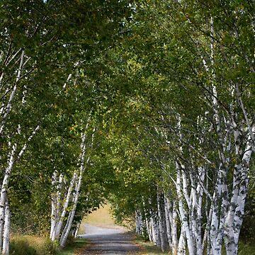 Birch Lane by MarthaMedford