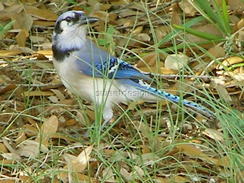 Blue Jay by sweetdesign