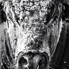 English Longhorn Bull by Vicki Field