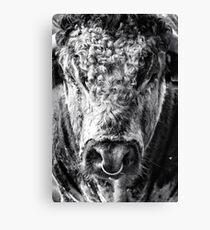 English Longhorn Bull Canvas Print