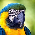Macaw Parrot by Vicki Field