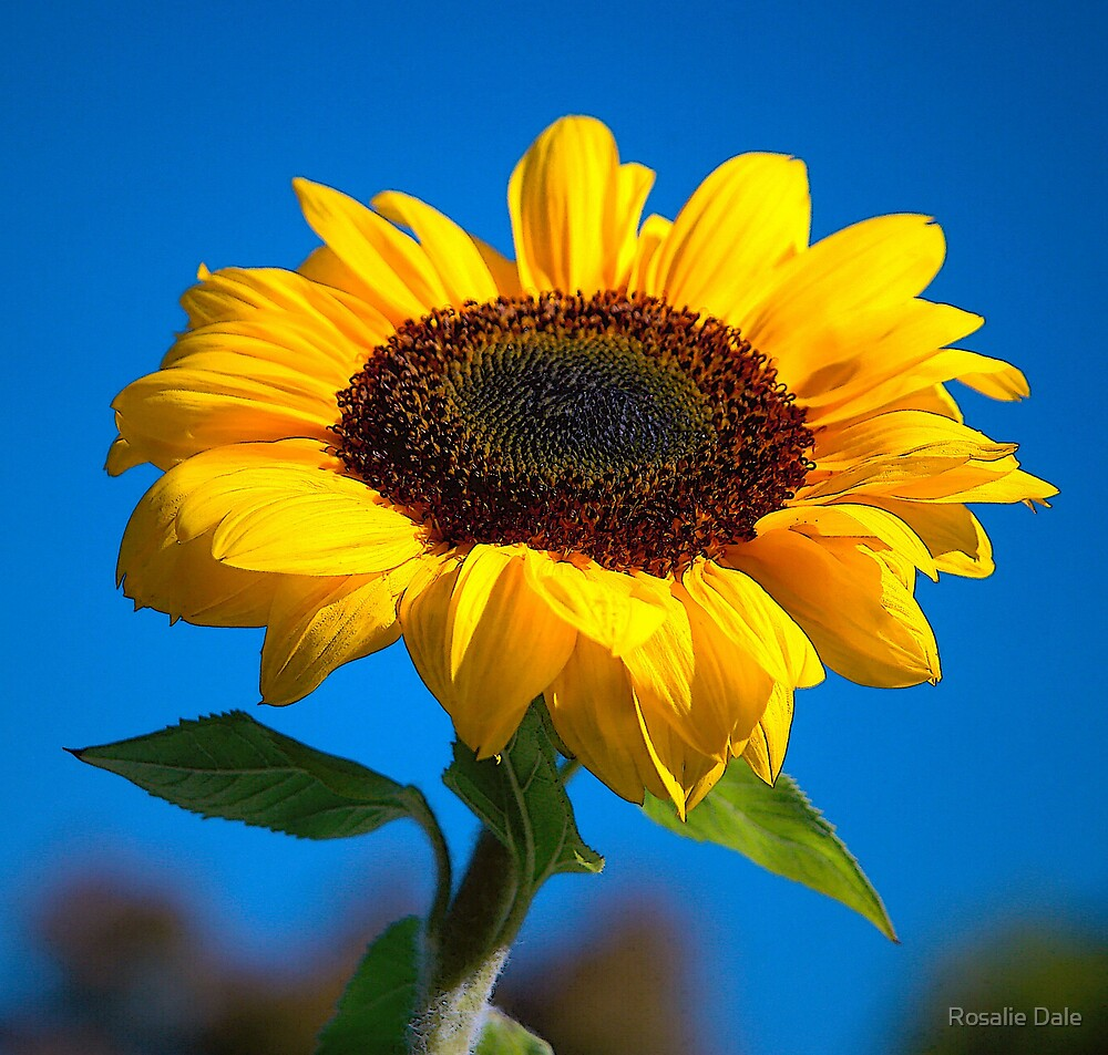 Sunflower challenge by Rosalie Dale