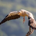 Egyptian Vulture in flight by Dominika Aniola