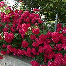 Rose bush by bubblehex08