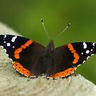 Red Admiral by Lisa Putman
