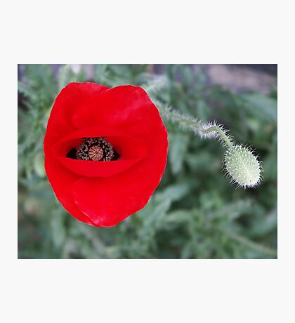 Madeira poppy Photographic Print