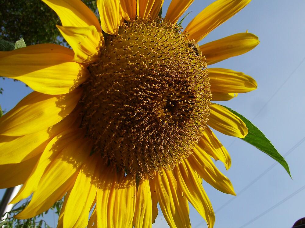 sunflower by alaskaman53