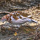 Ptarmigan - HDR by akaurora