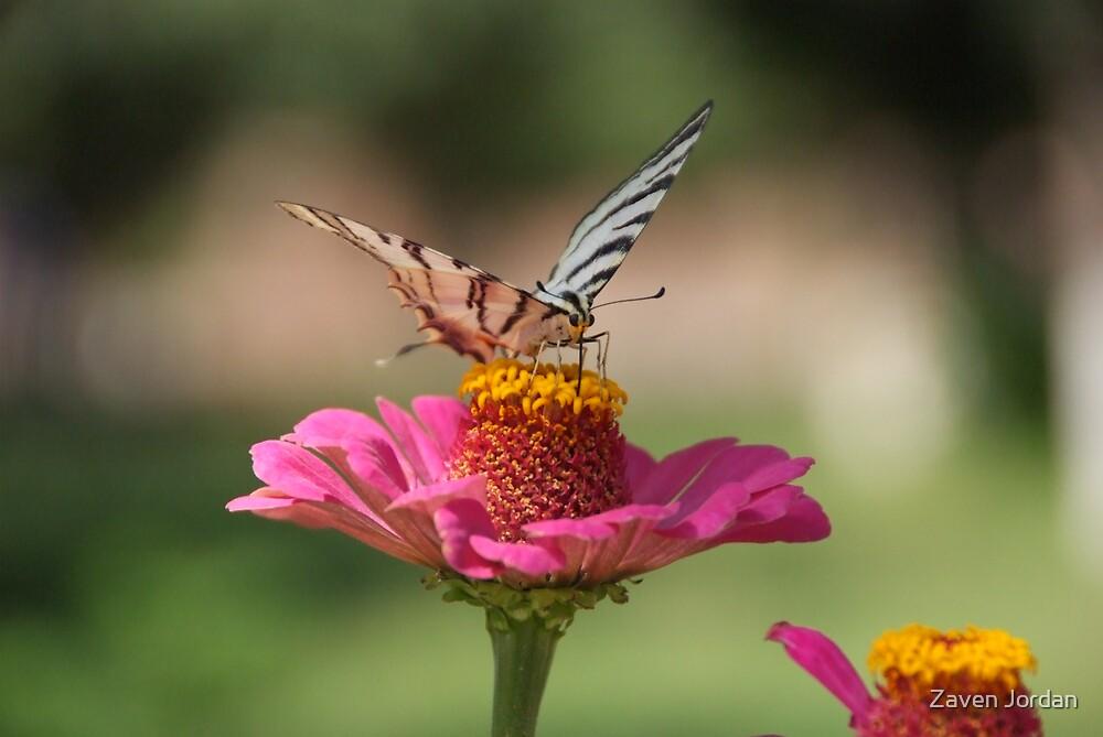 Armenian Butterfly by Zaven Jordan
