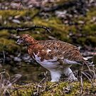 Ptarmigan by akaurora