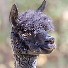 Happy Alpaca by Owed To Nature