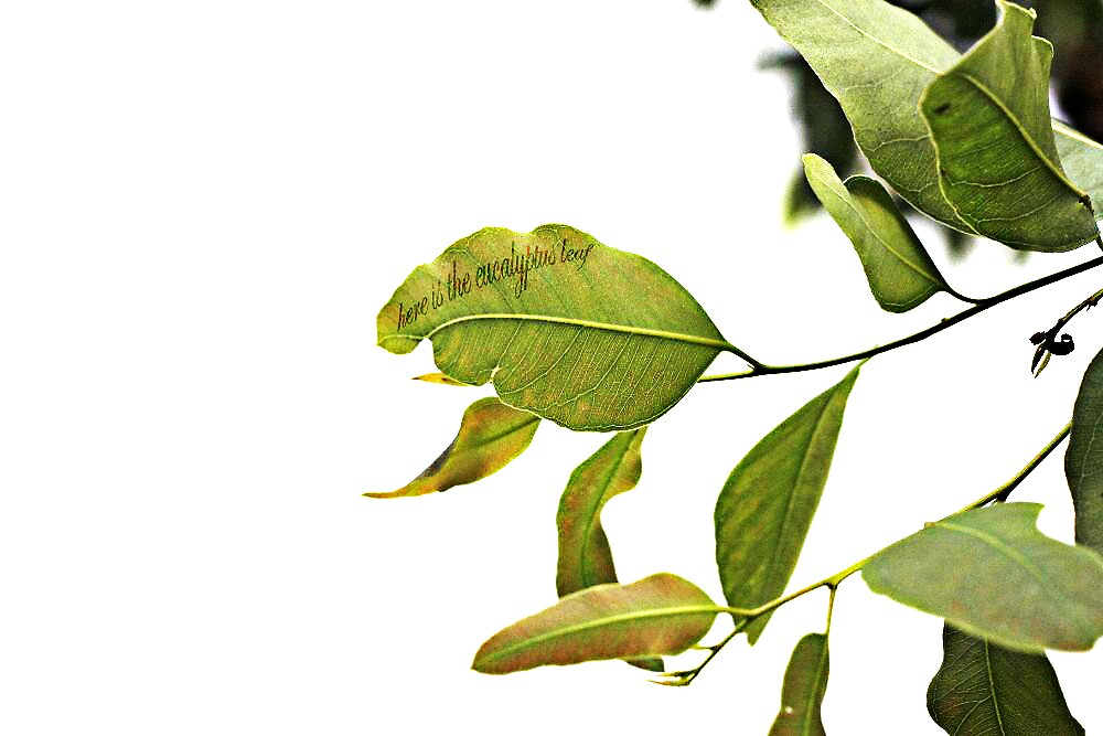 eucalyptus  by jamie marcelo