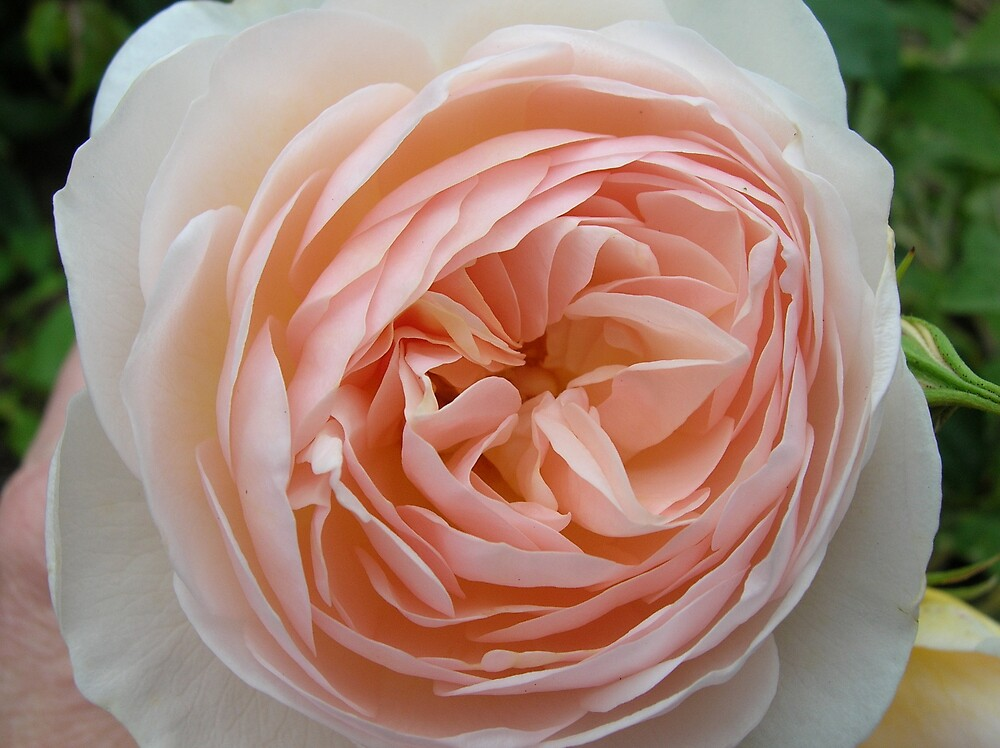 """""""England's Rose"""" by Gabrielle Battersby"""