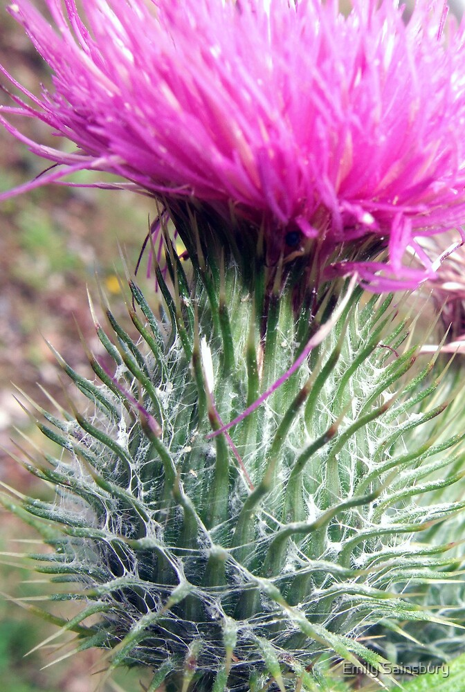 Thistle by Emily Sainsbury