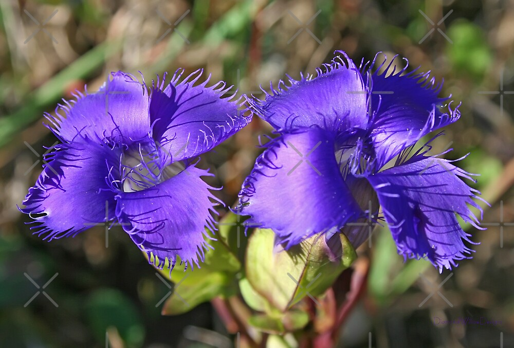 Greater Fringed Gentian by Vickie Emms