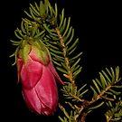 Darwinia oxylepis  by andrachne