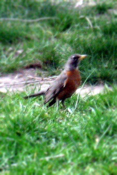 Robin by mikalmel
