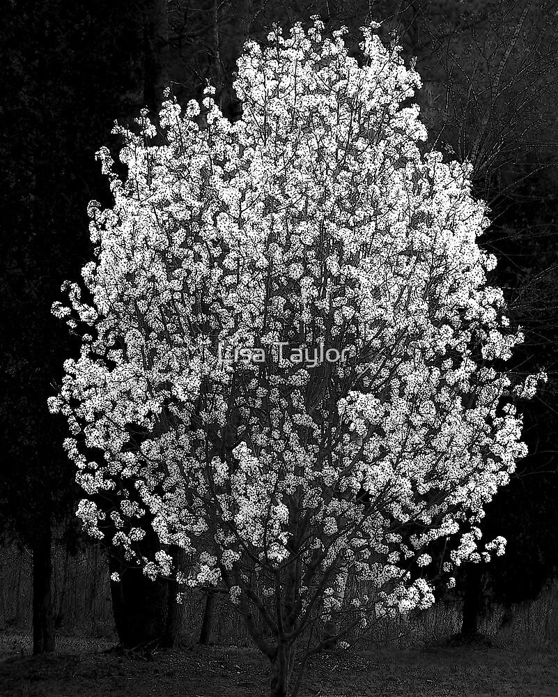 Bradford Pear in Black & White by Lisa Taylor