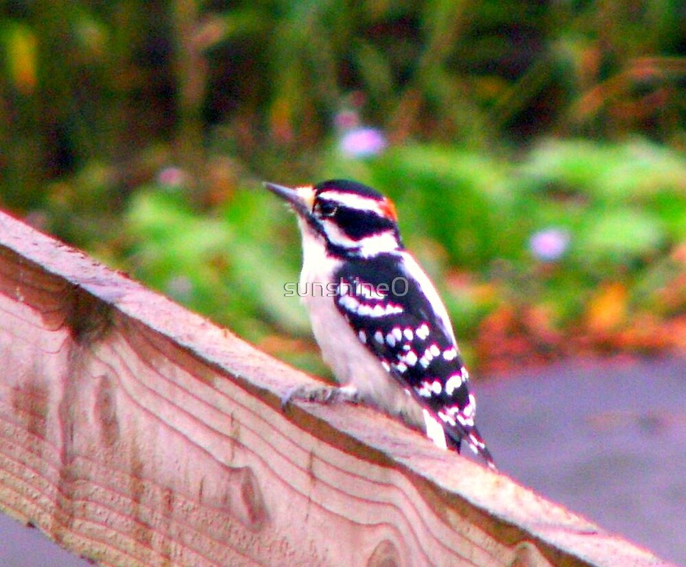 Baby woodpecker by sunshine0
