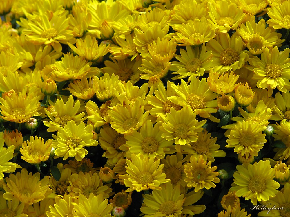 Yellow Flowers  by kelleybear
