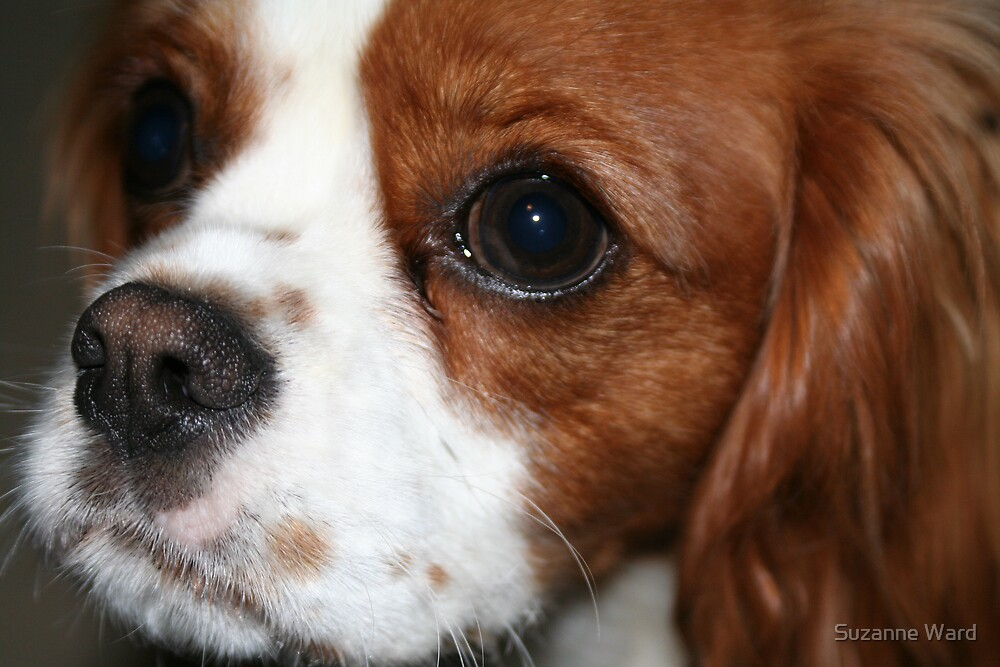 Cavalier King Charles dog by Suzanne Ward