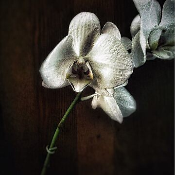 Pete's Orchid by kathrynhack