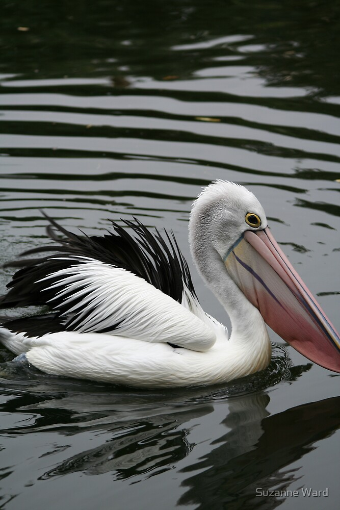 Water Pelican by Suzanne Ward