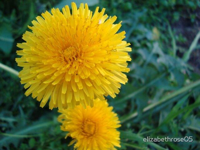 Dandilion Flower by elizabethrose05