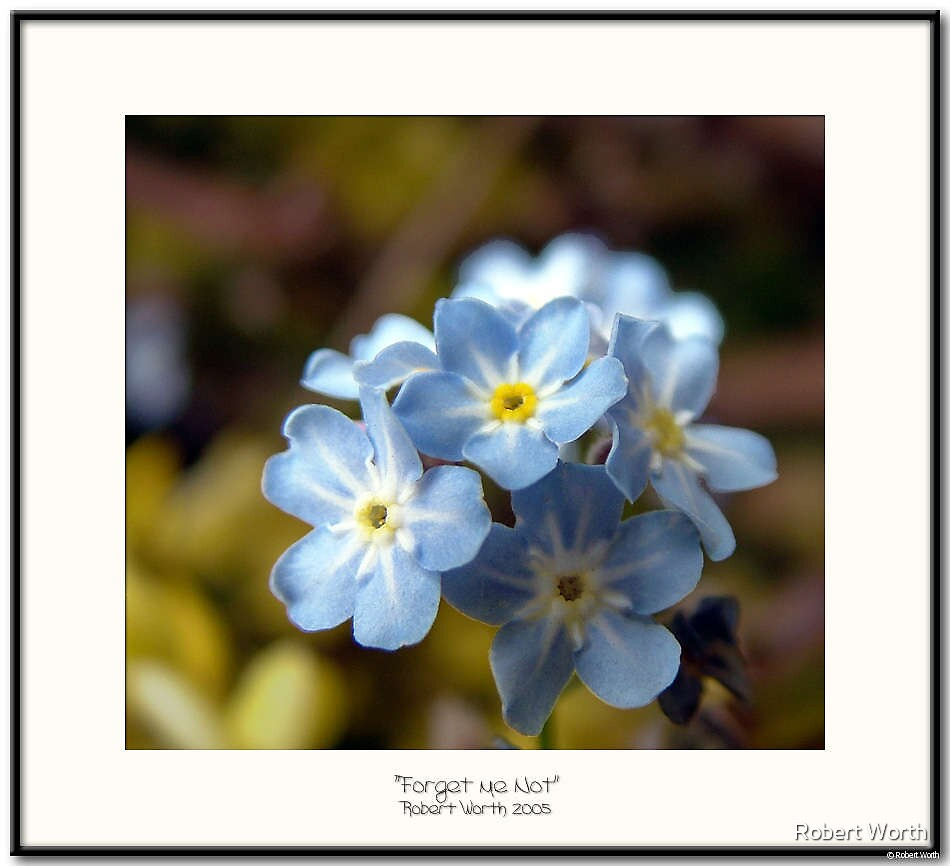 Forget me Not by Robert Worth