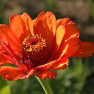 Autumn Zinnia  by K D Graves Photography