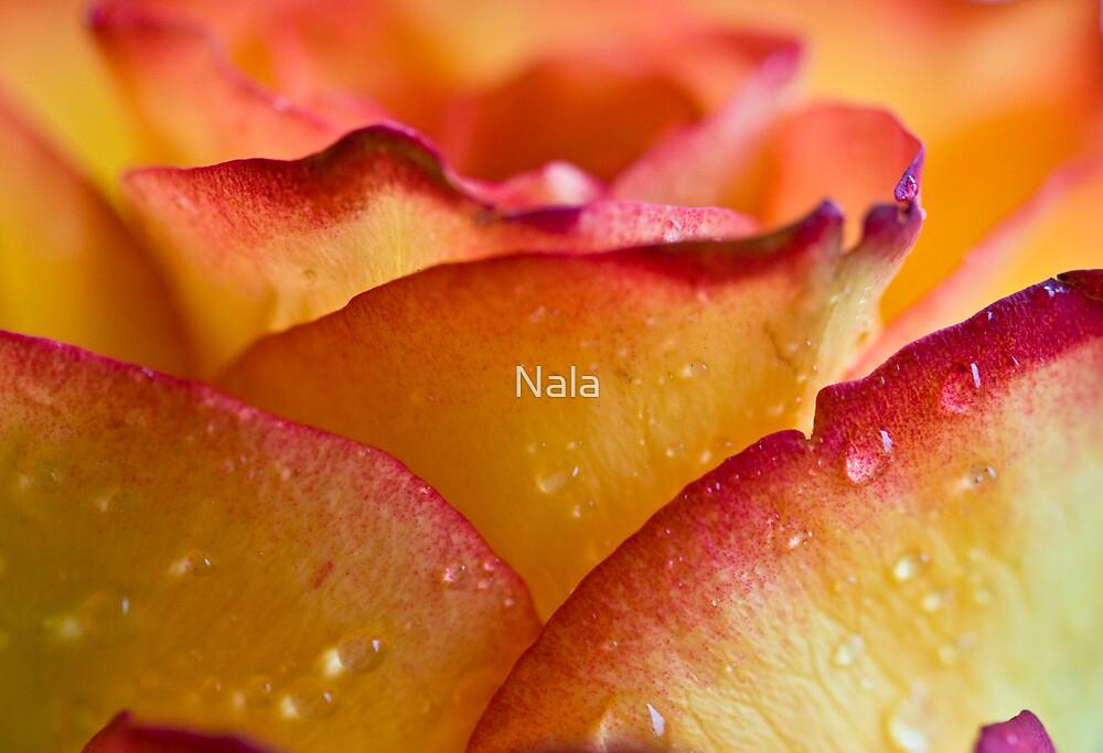 A Rose so sweet by Nala