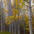 Aspen Forest Light by Bo Insogna