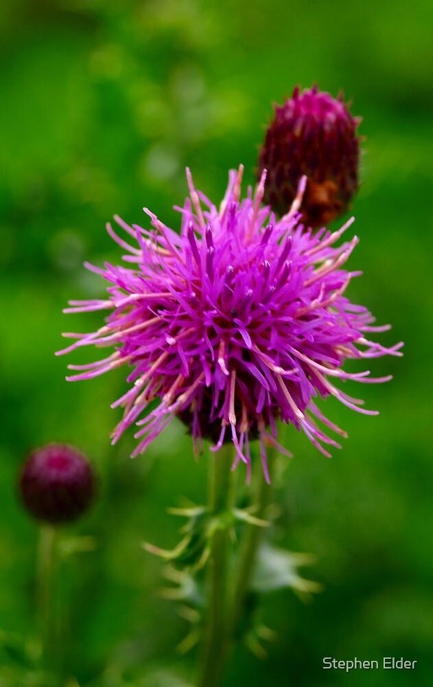 thistle flower by Stephen Elder