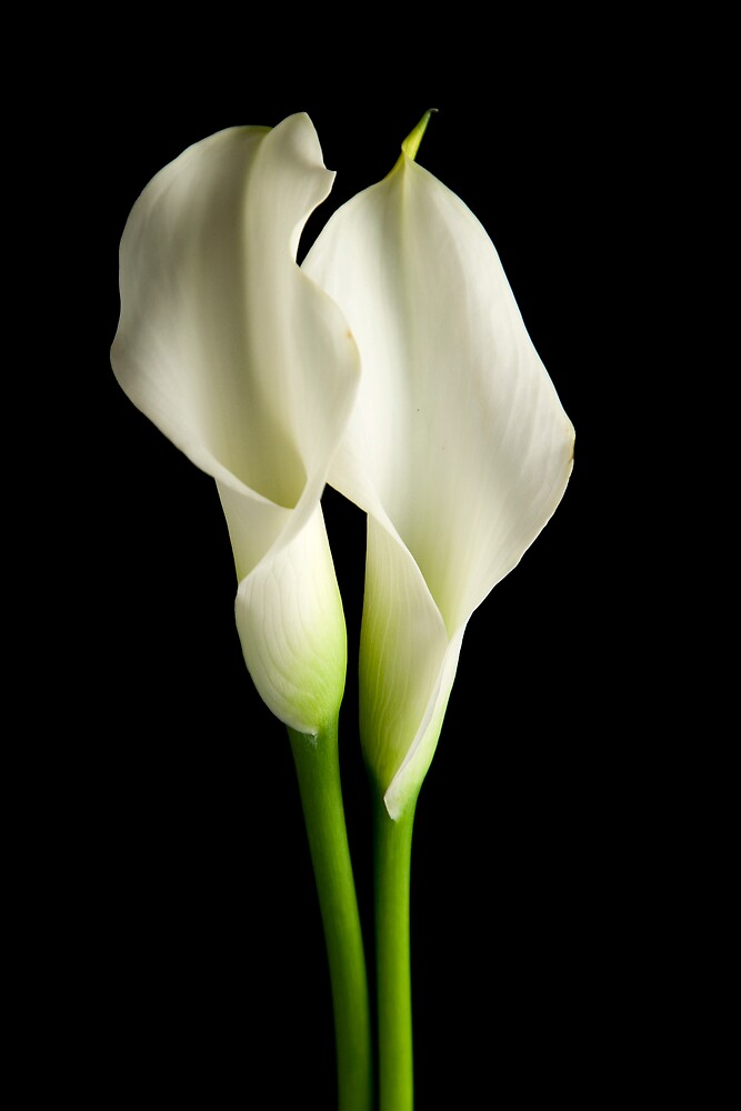 Two White Calla Lilies by C5Photography
