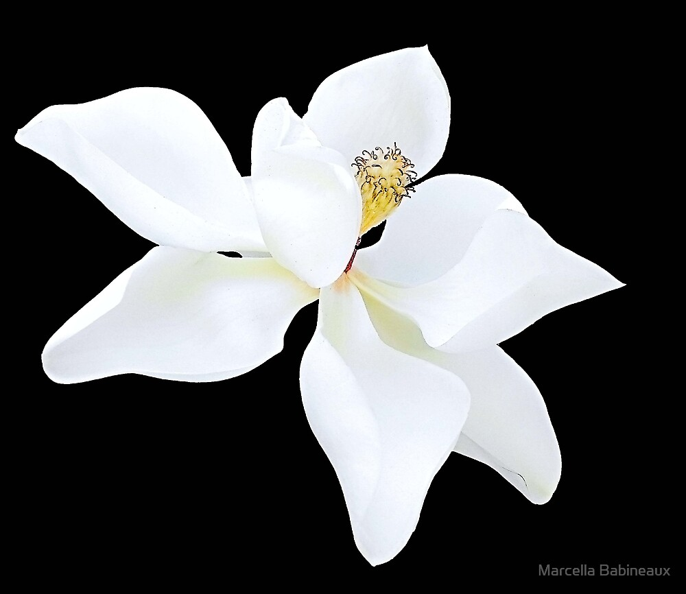 Southern Magnolia by Marcella Babineaux