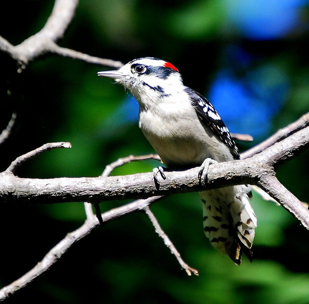 Downy Woodpecker... by LjMaxx