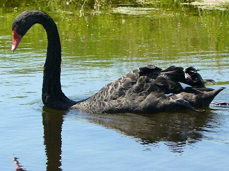 Black Swan by AiShan