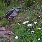 Daisies along Tia Falls walk, NSW. by Liz Worth