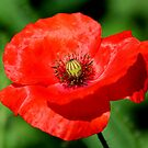 Papaver rhoeas - Common Red Poppy by AnnDixon