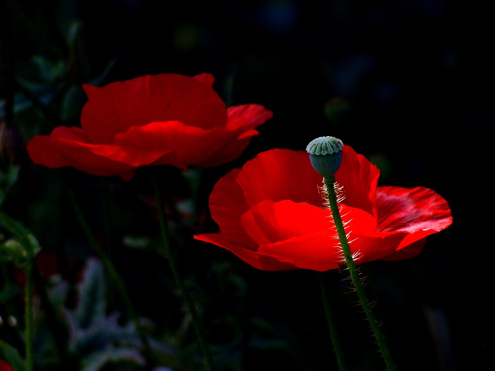 Shadow Poppies by Boyd Miller