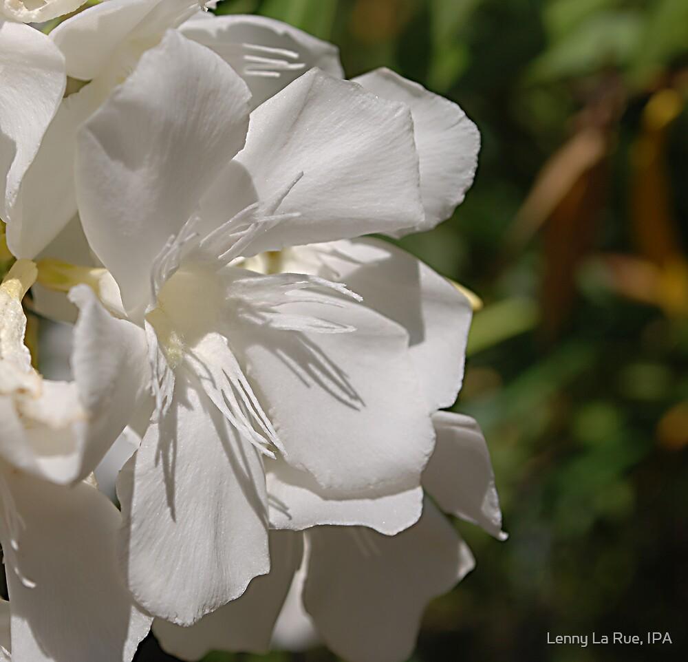 white oleander bloom in full sunlight by Lenny La Rue, IPA