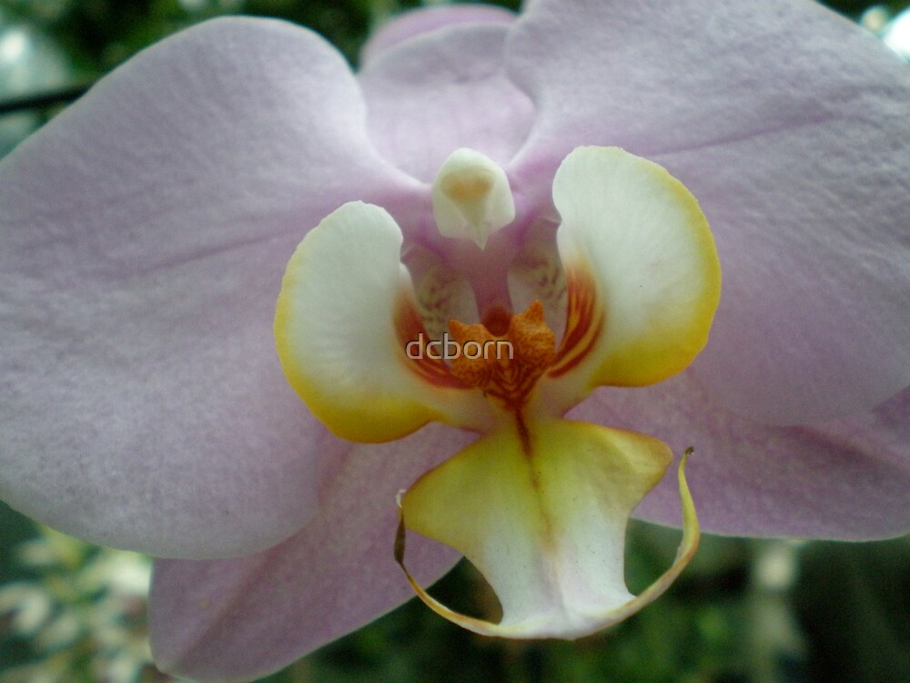 Orchids in the Spring DC by dcborn