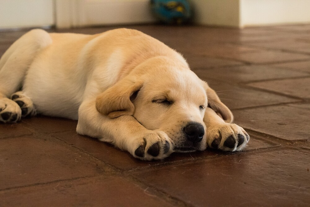 Sleeping Golden Yellow Labrador Puppy Dog by wjsutton